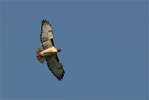 hawk_flying